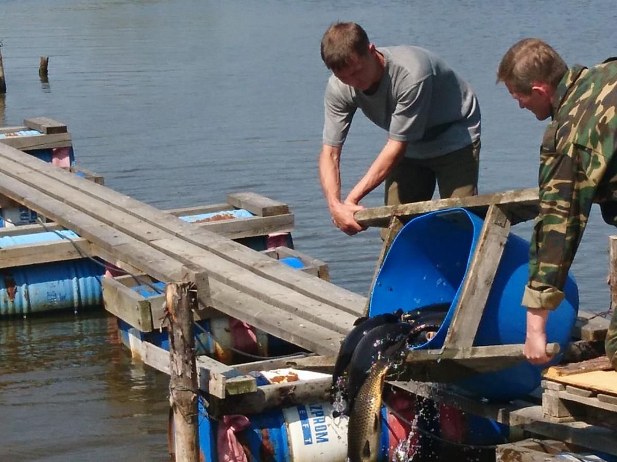 Зарыбление Карп Шабровский пруд в оба сектора